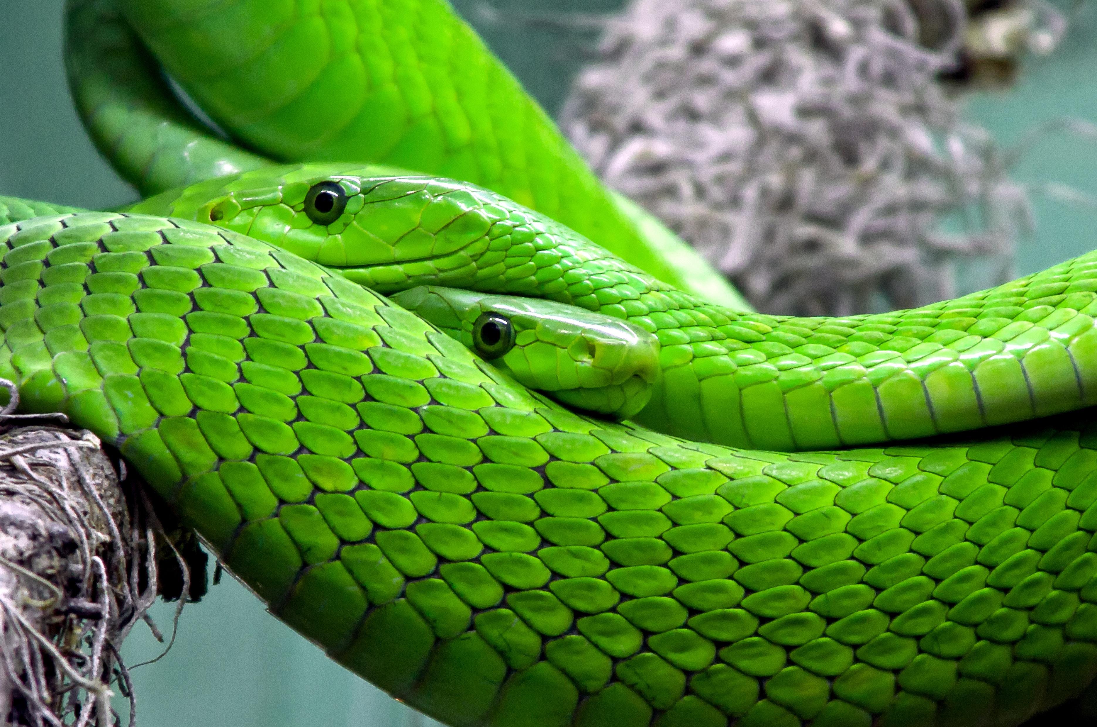 snake-mamba-green-mamba-toxic-38268