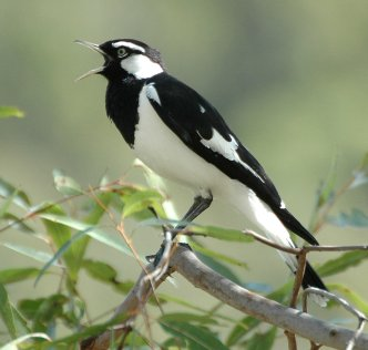 Magpie-Lark_male_kobble_aug06